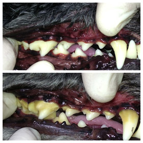 Dog Tarter Removal