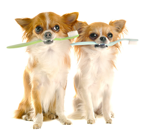Vancouver Dog Teeth Cleaning - Dental Tips