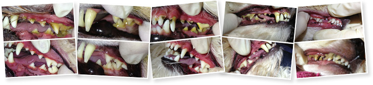 Dog Teeth Cleaning Before and After Images